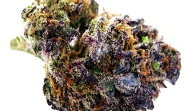 Buy Harlequin x GDP Marijuana Strain